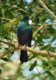 Tui - pássaro bonito de Nova Zelândia imagem de stock royalty free