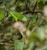 Tui Parakeet Stock Images