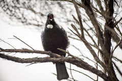 Tui Perched Photo stock