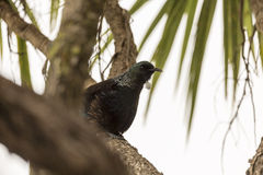 Tui Perched Stock Afbeelding