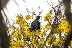 Tui Perched Royaltyfri Bild