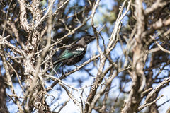 Tui Perched Stockbilder