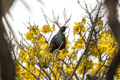 Tui Perched Stock Photo