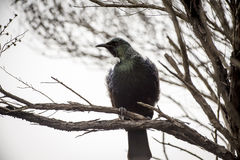 Tui Perched Royalty Free Stock Photos