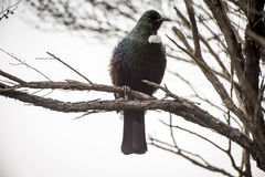 Tui Perched Stock Photos