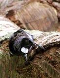 Tui ptak Karmi na Czereśniowym drzewie Zdjęcie Stock
