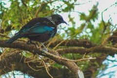 Tui que senta-se em uma árvore, pássaro nativo de Nova Zelândia capturado na floresta no monte do blefe, ilha sul, Nova Zelândia fotografia de stock