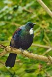 Tui - schöner Vogel von Neuseeland lizenzfreies stockfoto
