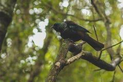 Tui se reposant dans un arbre, oiseau indigène du Nouvelle-Zélande capturé dans la forêt sur la colline de bluff, île du sud, Nou photos libres de droits