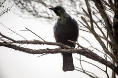 Tui Singing Stock Images