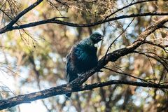 Tui singing on a branch royalty free stock photos