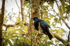 Tui Sits On Stump, Nueva Zelanda puso en peligro pájaros imagenes de archivo
