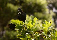 Tui. A Tui sits in a tree on Turituri Matangi Bird Sanctuary Stock Image