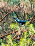 Tui in a tree Stock Images