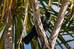 Tui vogel die op boomtak rusten Stock Foto's
