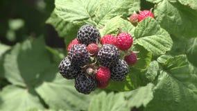 Tuin Blackberry op een de zomerdag stock footage