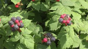 Tuin Blackberry op een de zomerdag stock videobeelden