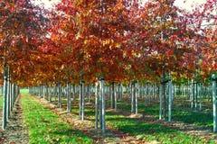 Tuin en park de boomkwekerijen specialiseren zich in middel aan zeer grote bomen, witte Amerikaanse eiken boomaanplanting royalty-vrije stock fotografie