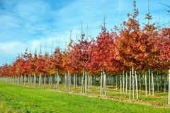 Tuin en park de boomkwekerijen specialiseren zich in middel aan zeer grote bomen, witte Amerikaanse eiken boomaanplanting stock fotografie