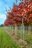 Tuin en park de boomkwekerijen specialiseren zich in middel aan zeer grote bomen, witte Amerikaanse eiken boomaanplanting stock afbeelding