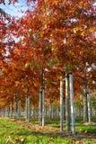 Tuin en park de boomkwekerijen specialiseren zich in middel aan zeer grote bomen, witte Amerikaanse eiken boomaanplanting stock foto's