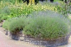 Tuin met angustifolia van Lavendellavandula en Lampwick-Installatie Royalty-vrije Stock Foto