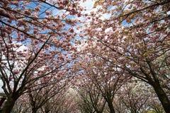 Tuin met bloeiende die bomen door Van Gogh-schilderijen tussen het Van Gogh-museum en Rijksmuseum op een de lentedag worden geïns Royalty-vrije Stock Foto's