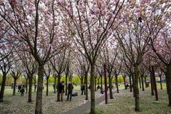 Tuin met bloeiende die bomen door Van Gogh-schilderijen tussen het Van Gogh-museum en Rijksmuseum op een de lentedag worden geïns Royalty-vrije Stock Fotografie