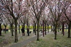 Tuin met bloeiende die bomen door Van Gogh-schilderijen tussen het Van Gogh-museum en Rijksmuseum op een de lentedag worden geïns Stock Afbeelding