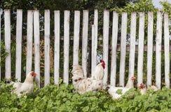 Tuin met kippen en witte haan tegen houten omheining De zomer landelijke werf met binnenlandse witte haan en kippen Stock Afbeeldingen