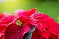 Tuin met poinsettiabloemen of Kerstmisster Stock Afbeeldingen