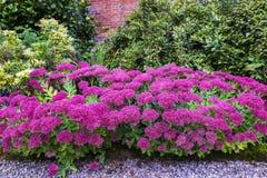 Tuin met purpere sedumbloemen royalty-vrije stock afbeeldingen