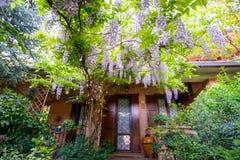 Tuin met wisteriabloemen Stock Afbeelding
