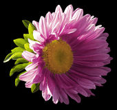 Tuin roze bloem op de zwarte geïsoleerde achtergrond met het knippen van weg nave Close-up geen schaduwen, royalty-vrije stock afbeelding
