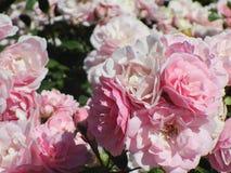 Tuin roze en witte rozen Stock Foto