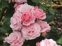 Tuin roze rozen met bladeren Stock Foto