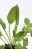 Tuin Sorrel Leaves royalty-vrije stock afbeelding