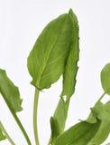 Tuin Sorrel Leaves Royalty-vrije Stock Foto