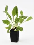 Tuin Sorrel Plant Royalty-vrije Stock Fotografie