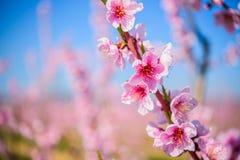 Tuin van bloeiende amandelbomen tegen blauwe hemel Royalty-vrije Stock Afbeelding