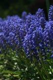 Tuin van Druivenhyacint royalty-vrije stock foto's