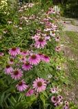 Tuin van Echinacea-Bloemen Stock Afbeeldingen