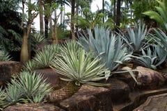 Tuin van een sappige agave of een yucca Royalty-vrije Stock Afbeeldingen