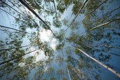 Tuin van eucalyptus Royalty-vrije Stock Fotografie
