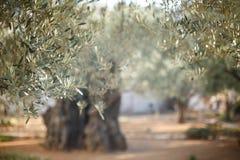 Tuin van Gethsemane Beroemde historische plaats Stock Foto