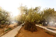 Tuin van Gethsemane, beroemde historische plaats Royalty-vrije Stock Fotografie