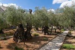 Tuin van Gethsemane - Jeruzalem Stock Afbeeldingen