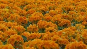 Tuin van mooie gele bloemen stock video