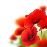Tuin van papavers, bloemachtergrond Stock Afbeelding