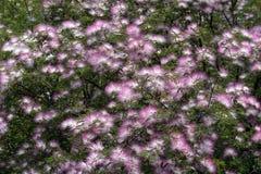 Tuin van roze powderpuff Royalty-vrije Stock Afbeeldingen